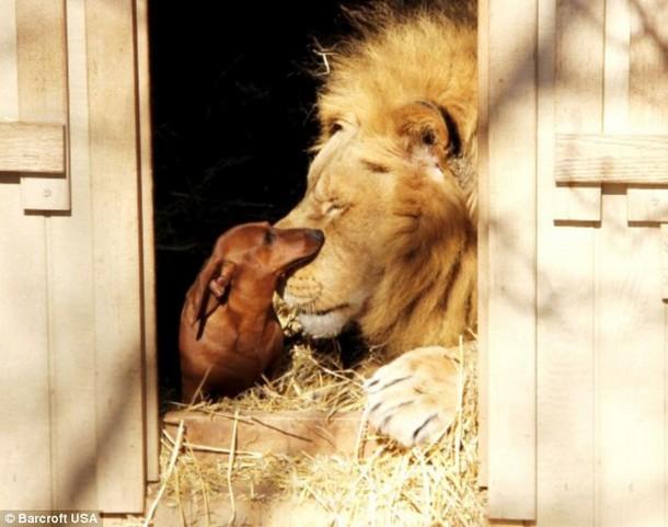 Bonedigger the Lion