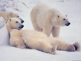 Белые медведи на привале