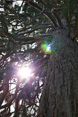 Blick hinauf in den Mammutbaum