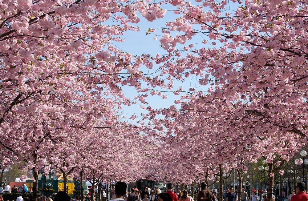 Cseresznye bütykök
