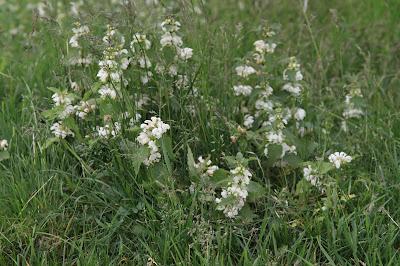 Lamium album – White Dead-Nettle (#186)