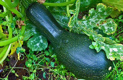 Giant zucchini on the vine