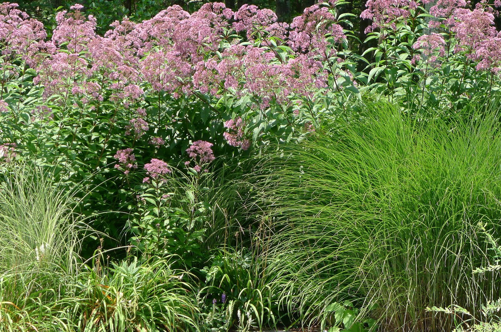 Hamptons garden who you callin 39 a weed for Tall ornamental grasses for screening