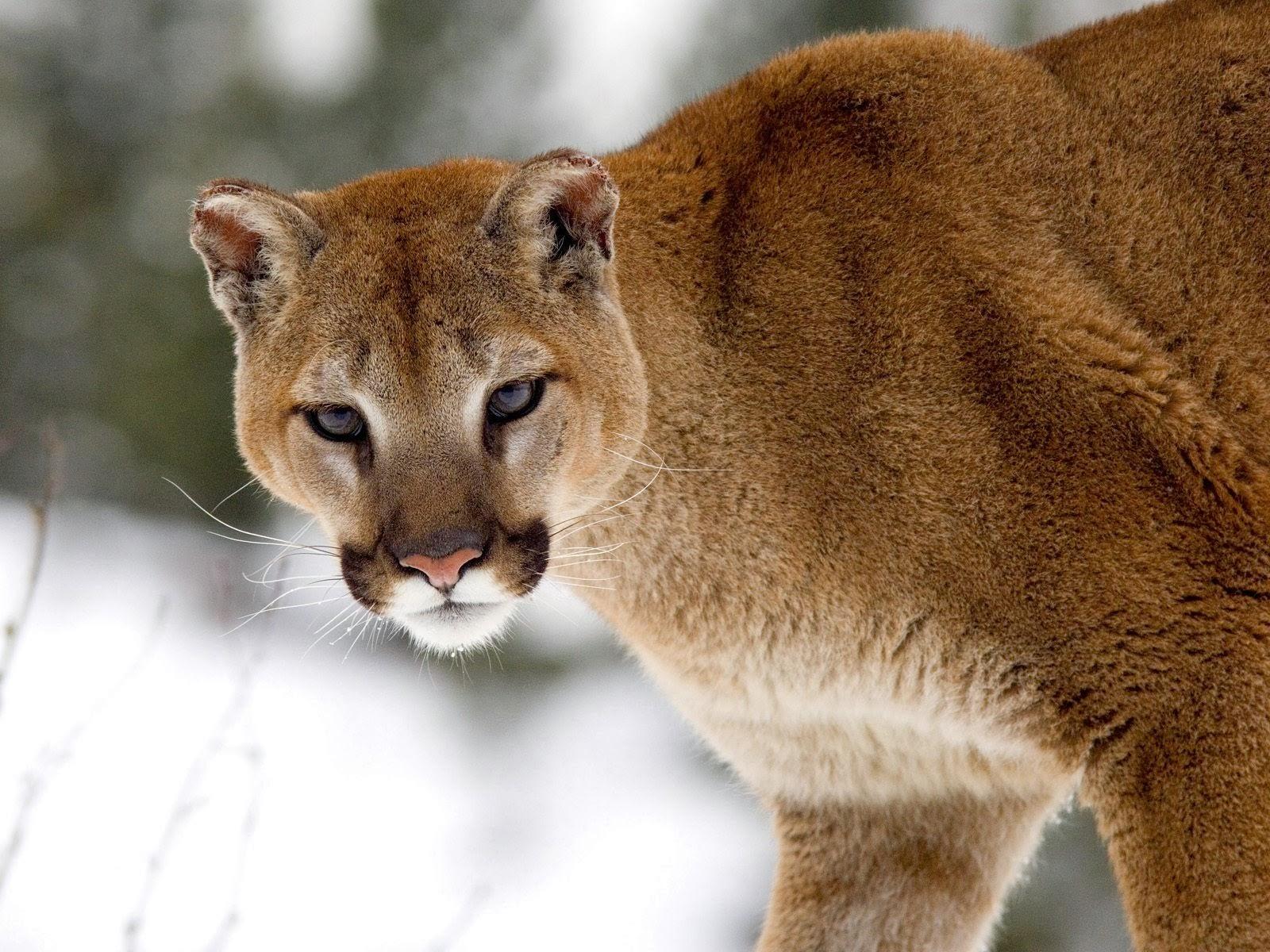 "<img src=""http://2.bp.blogspot.com/-SMKlDb-xfio/Ut5Fy486CqI/AAAAAAAAJhg/LdiExXvzmZo/s1600/cougar-in-winter.jpg"" alt=""cougar in winter"" />"