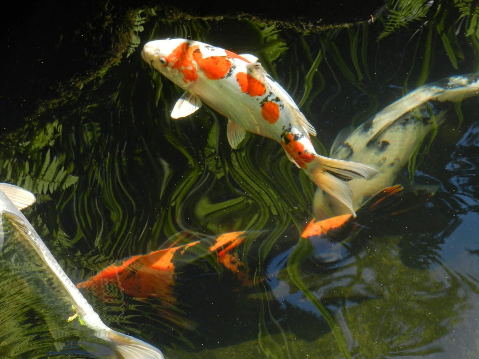 Prairie rose 39 s garden the many faces of portland part i for Portland japanese garden koi