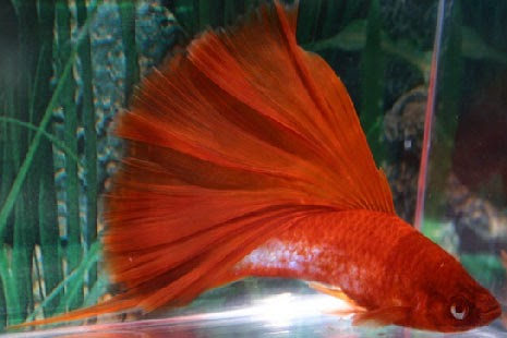 Fresh Water Fish Keeping: Sword Tails