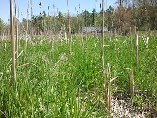 A view of the marsh at Kingman Farm