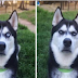 The Reaction of This Siberian Husky When Owner Pretended to Throw A ball is Very Funny. Hahaha