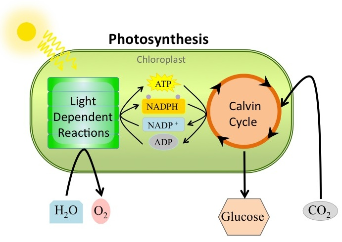 photosynthesis stages