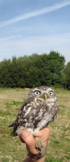 Little Owl, Surrey