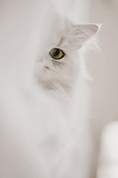 félin blanc