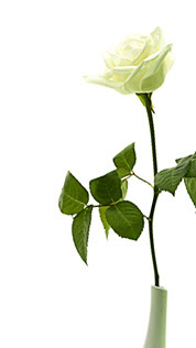 A Rose For All the Fathers in Our Lives