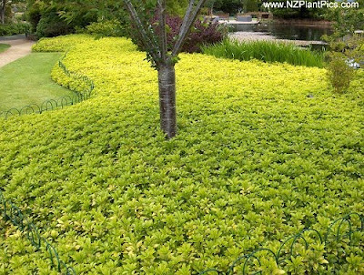 pachysandra ground cover  favorite ways of blocking out