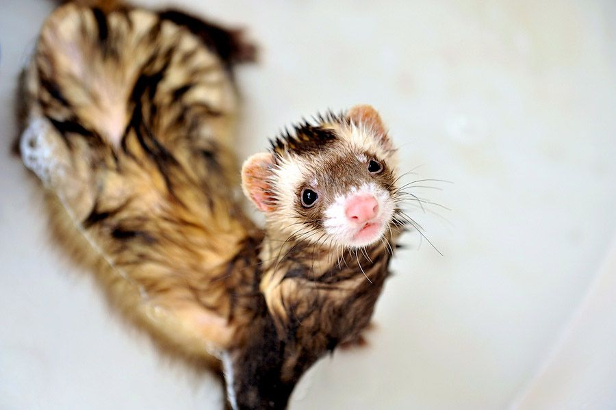 3. A Ferret's Bath Time by Thomas Lester