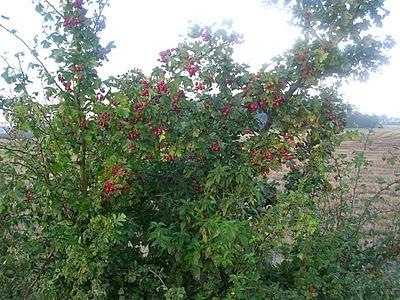 grön buske med röda bär. foto: Reb Dutius
