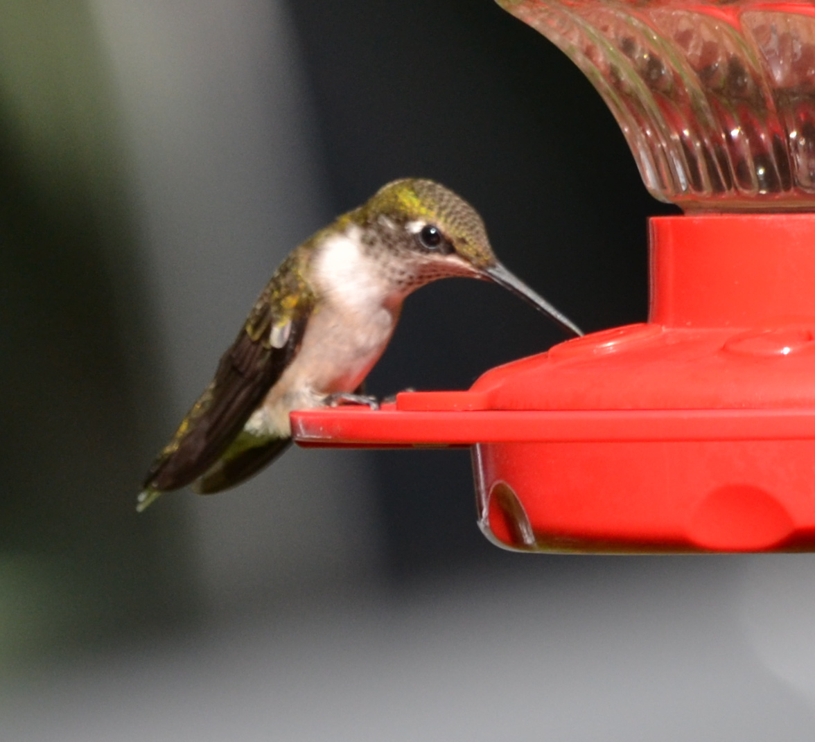 How To Make Hummingbird Food Without Boiling