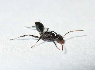 Minor worker of Camponotus bedoti