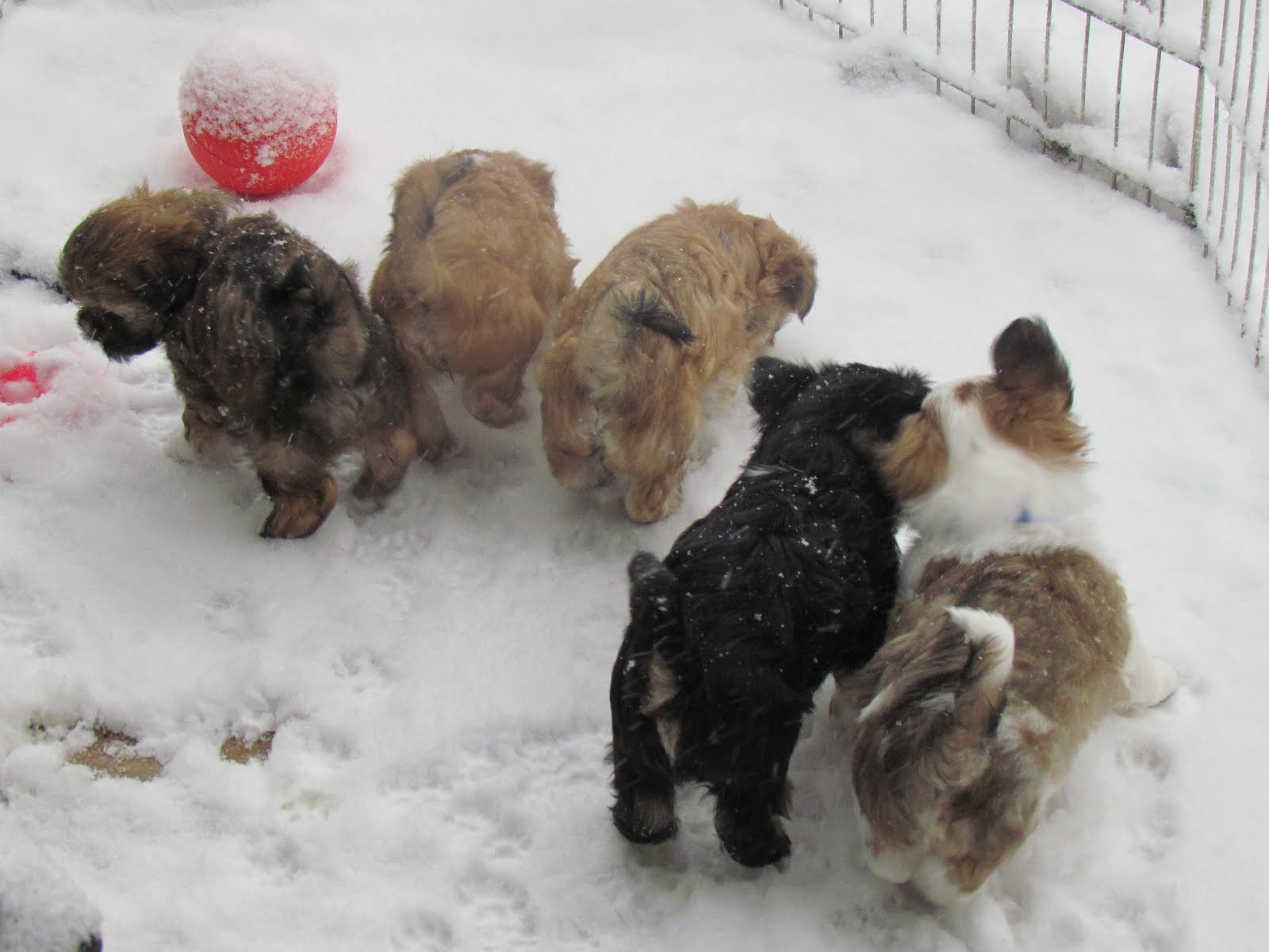 Gallery images and information: Puppies Playing In Snow