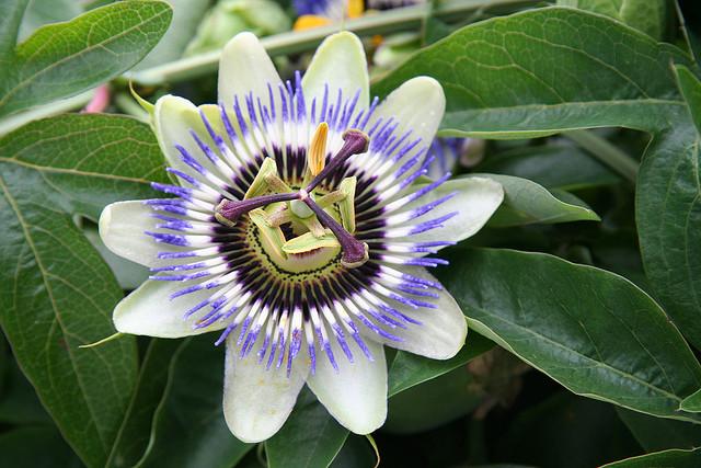 A beleza das flores do maracujá
