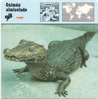 Blog Safari Club, El Caimán almizclado, un pequeño crocodiliano que gusta de aguas tumultuosas