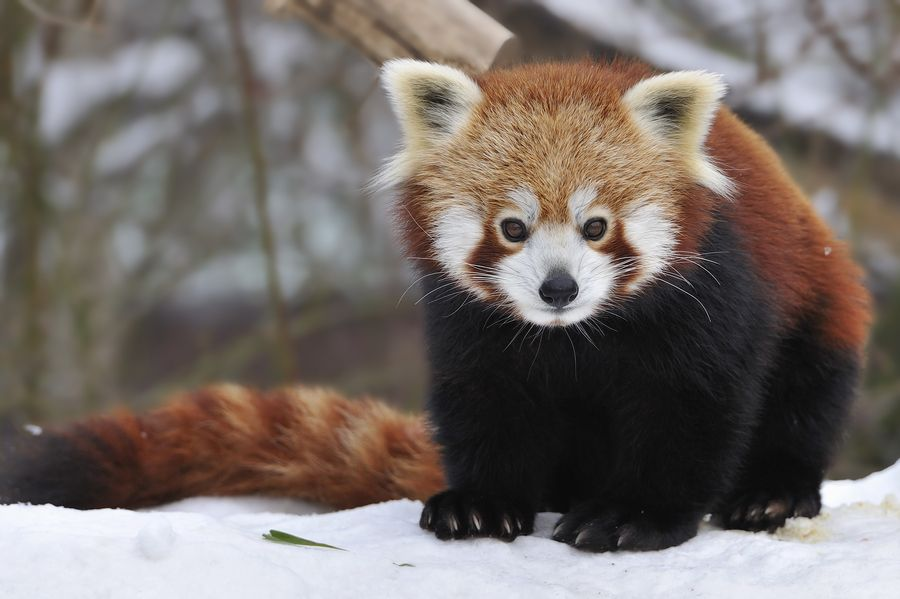 1. Red Panda by Josef Gelernter
