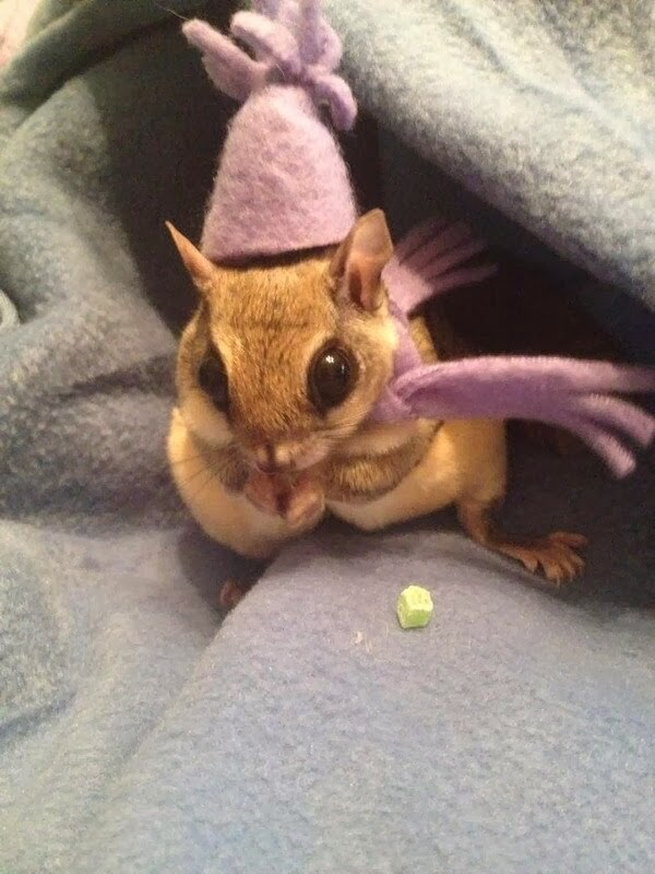 Funny animals of the week - 28 February 2014 (40 pics), sugar glider wears tiny hat