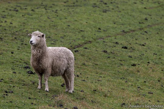 Wet sheep on Willowbank Ave, Napier. photograph