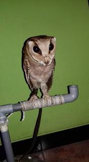 harga barn owl,  harga tyto alba,  cara memelihara barn owl,  jual barn owl,  buy pet owl,  buying an owl,  how to buy an owl,  pet owl prices,  makanan barn owl,  jual celepuk,  barn owl price,  cara memelihara celepuk,  harga celepuk,  harga owl,  jual owl,