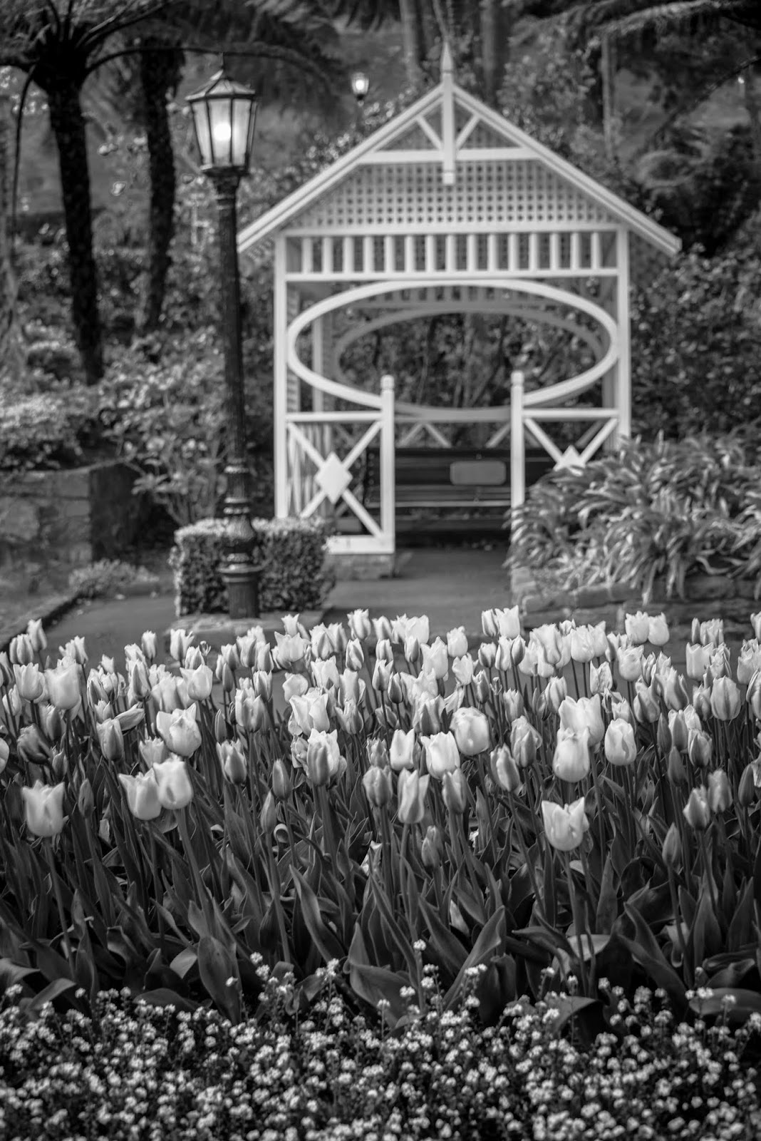 black and white wellington gardens tulips