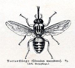 jenis-jenis lalat, gambar lalat buah, morfologi lalat