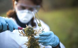 The Medical Potential of the Cannabinoid CBC