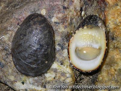 Ox-palate Nerite (Nerita albicilla)