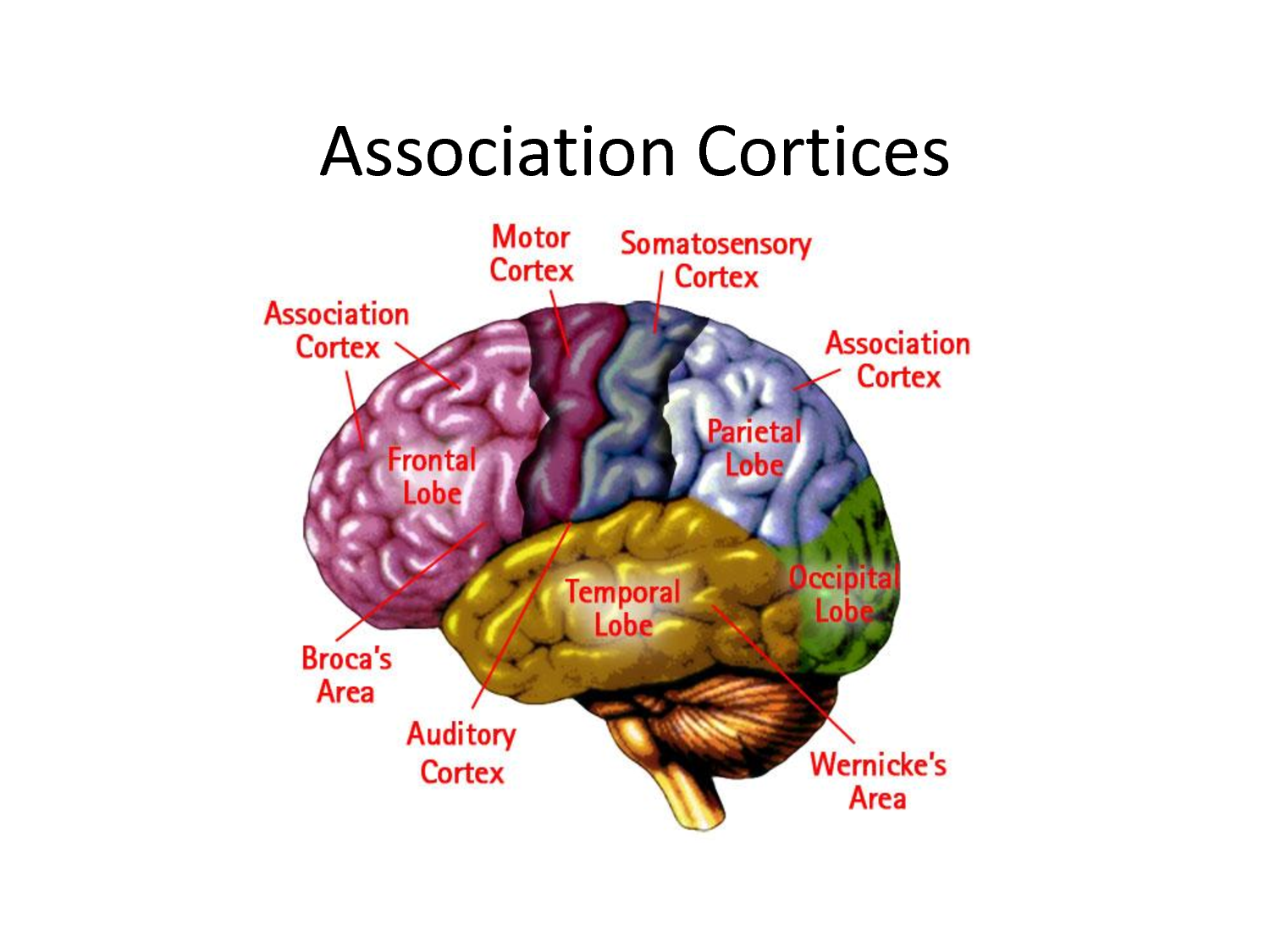quiz sleep and cortex correct More about essay on quiz: sleep and cortex correct business quiz 773 words | 4 pages to sleep is to dream 1120 words | 5 pages essay about lesions of the.