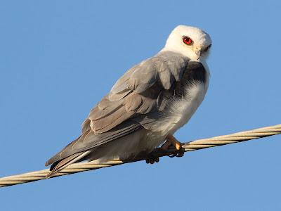 Texas White-tailed Kite