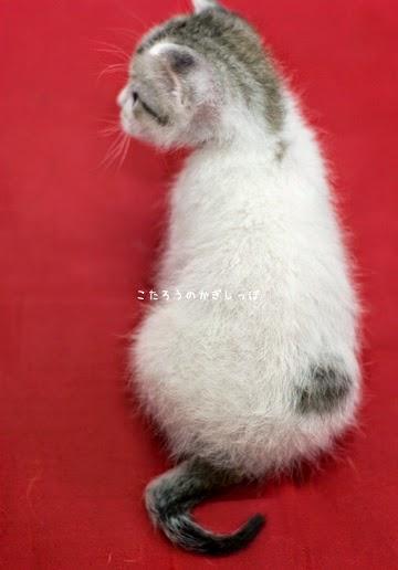 仔猫の鍵尻尾 横耳 ご利益