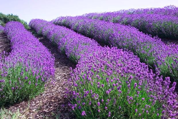 Flores e jardins plantas jardinagem e paisagismo arbustos - Cuidados planta lavanda ...