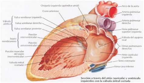 Anatomía del Corazón: Cámaras del Corazón