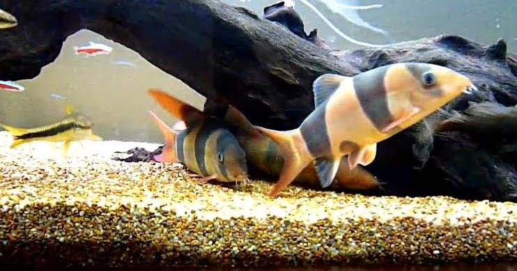 Fish zone clown loach for Clown fish size