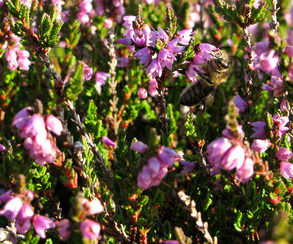 Bees love heather