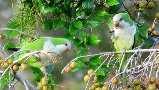 Wild Monk Parakeets or Quaker Parrots