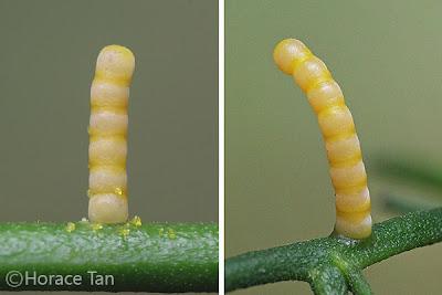 Papilio demolion eggs. Credit: Horace Tan (Permission Obtained)