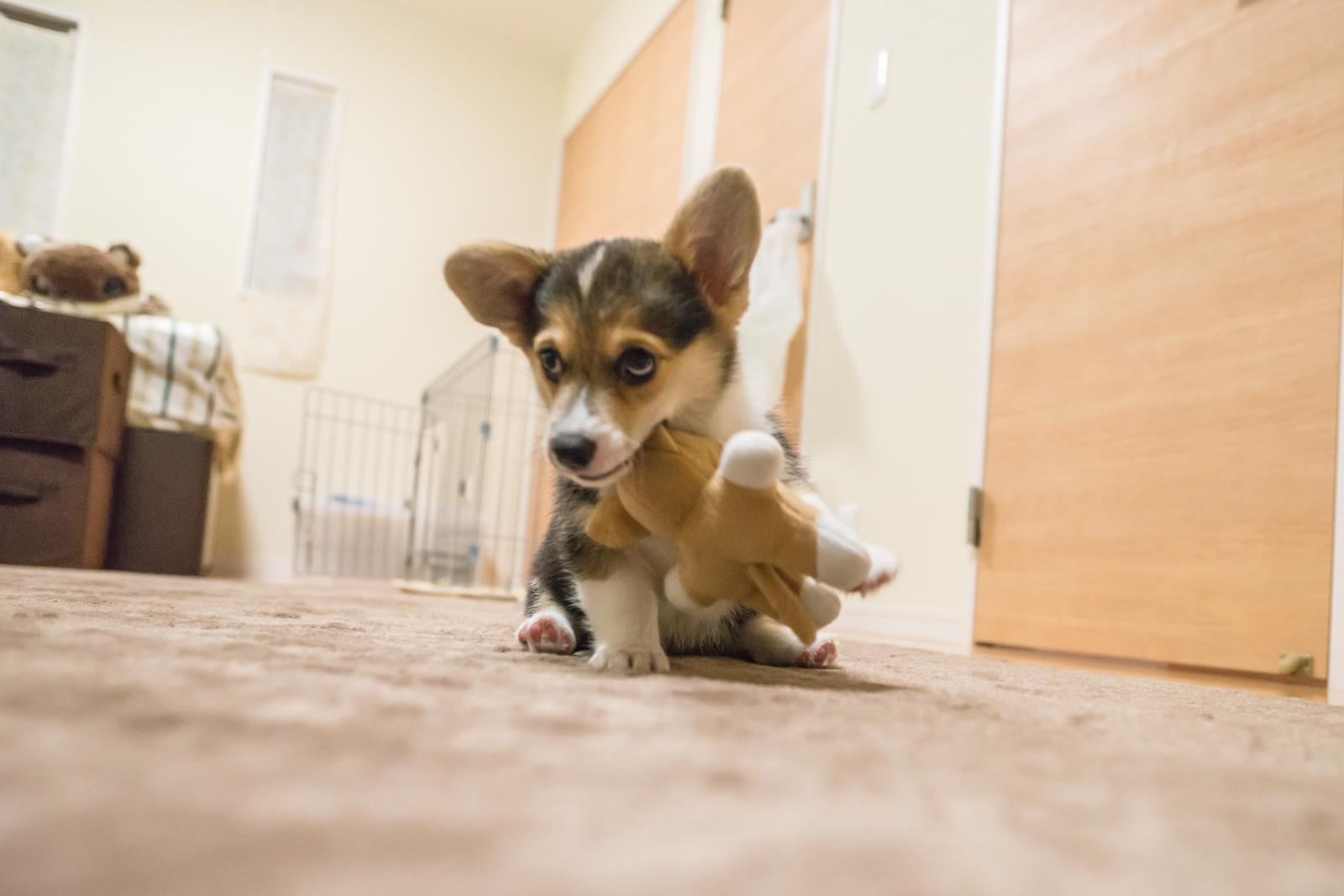 ブサ可愛い子犬のコーギー