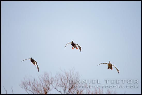 daniel teetor digital outdoors photography cupped wings