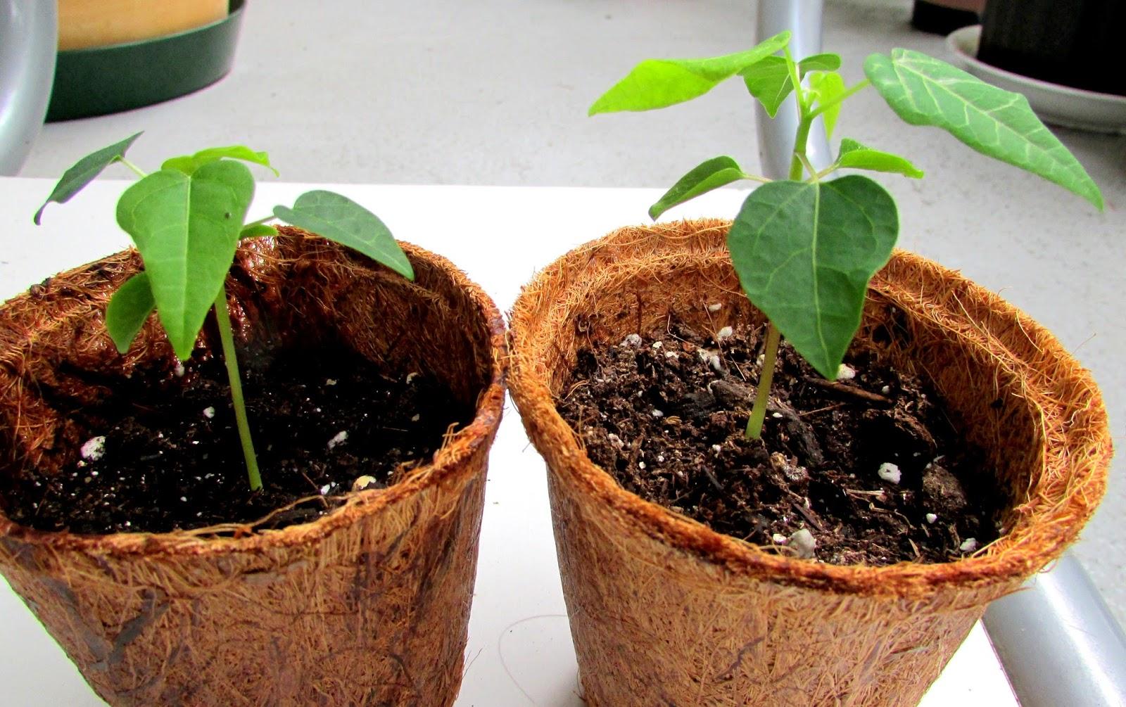 Выращивание папайи в домашних условиях из семян