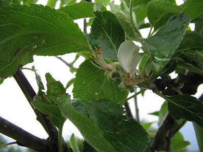 Elspan Apple Tree.