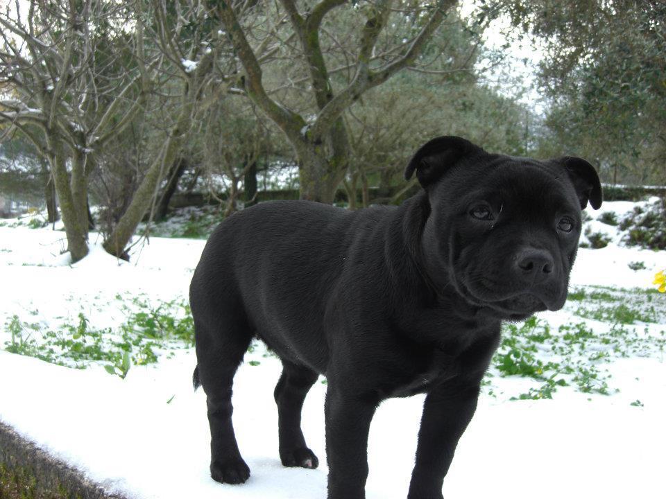 E Cattivo Il Bull Terrier Un Pit Bull Per Amico:...