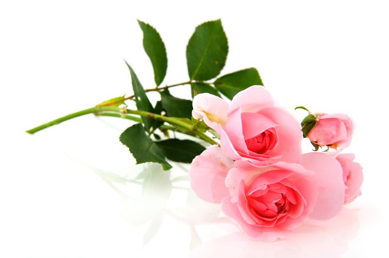 Banco de im genes 15 fotos de rosas de colores roses - Fotos de rosas de colores ...