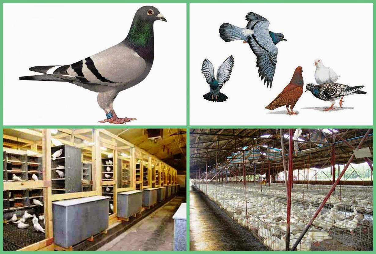Pigeons Farm to Earn Money | Business Ideas