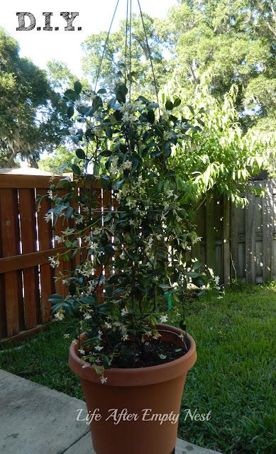 DIY Jasmine Topiary