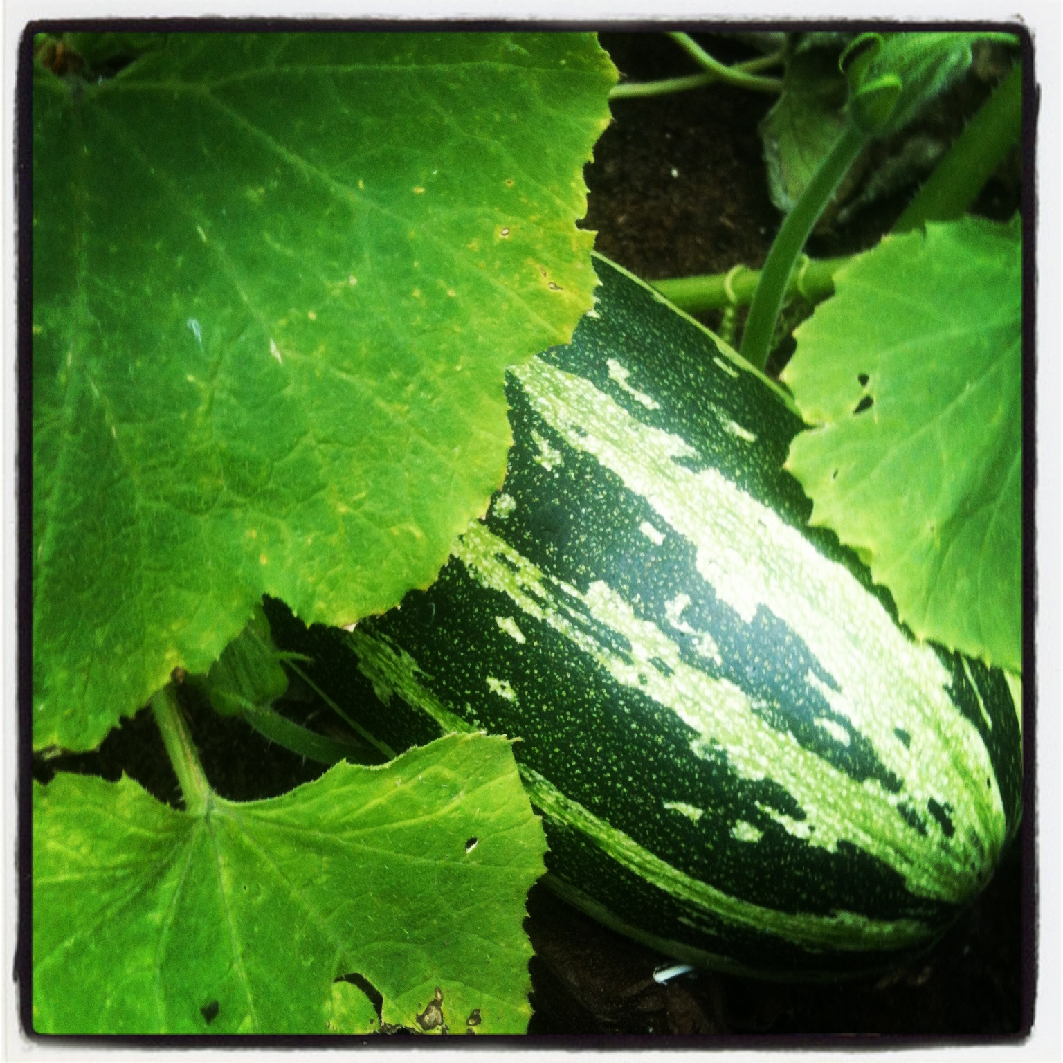 Wartime Garden Harvest Month Update The Crops That Never Were Life On Pig Row